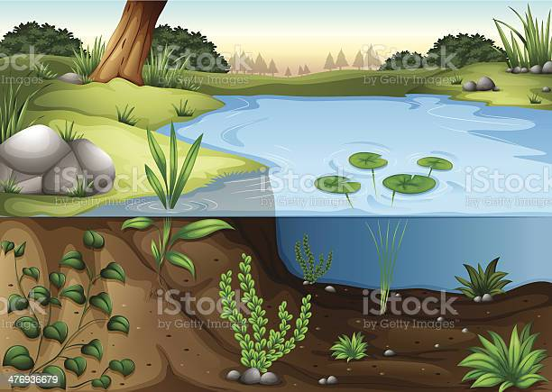 Pond Ecosytem Stock Illustration - Download Image Now
