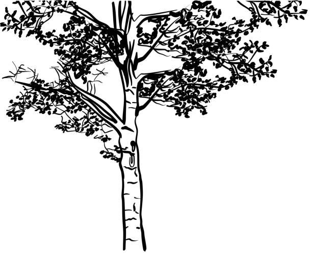 Pappelzeichnung – Vektorgrafik