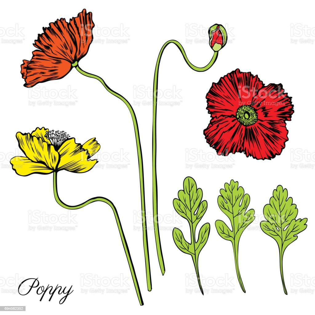 Poppy Flower Bud Leaves Vector Engraving Sketch Hand Drawn Isolated