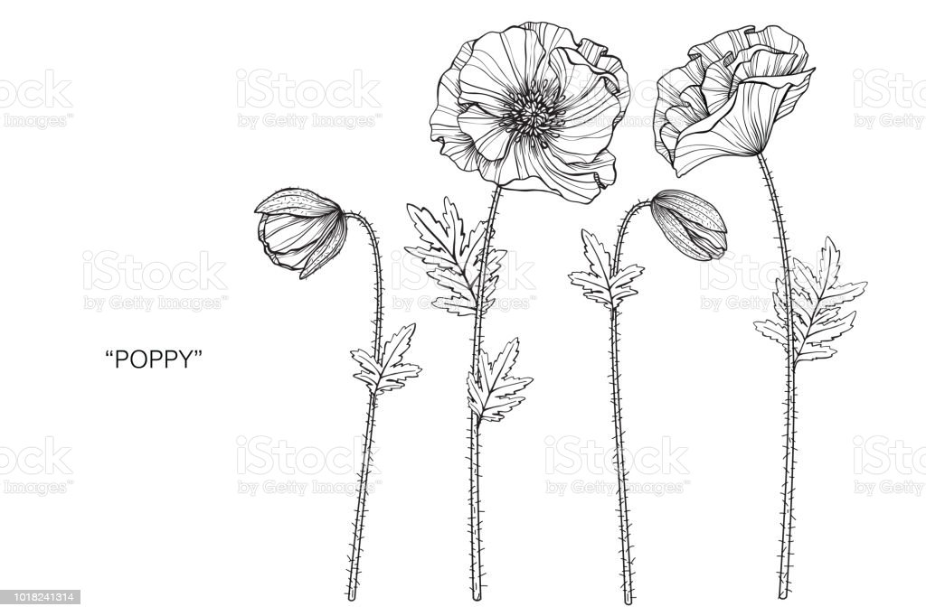 Poppy flower drawing illustration black and white with line art on poppy flower drawing illustration black and white with line art on white backgrounds royalty mightylinksfo