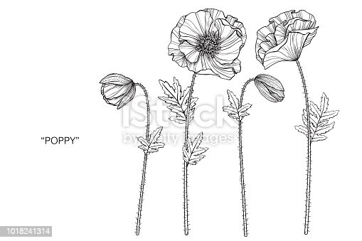 Poppy flower drawing illustration. Black and white with line art on white backgrounds.
