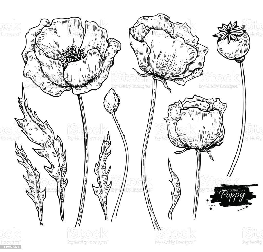 Poppy Flower Vector Drawing Set Isolated Wild Plant And Leaves Stock