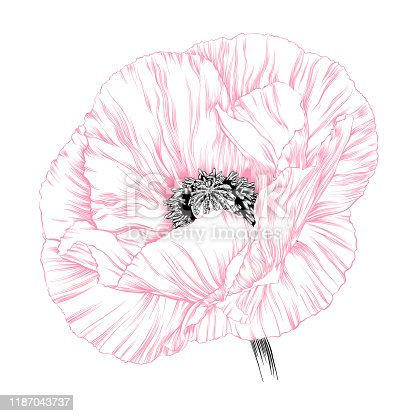 Poppy Ink Sketch Vector Illustration
