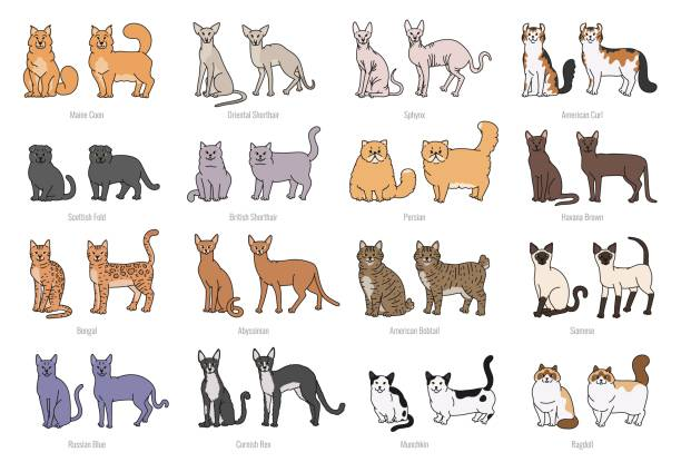 Popular cat breeds face and profile. Vector set contour sketch isolated illustration. Popular cat breeds face and profile. Vector set contour sketch isolated illustration bobtail squid stock illustrations