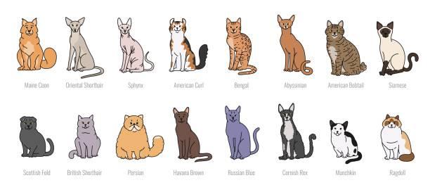 Popular cat breeds face vector set line sketch isolated illustration. Popular cat breeds face vector set line sketch isolated illustration bobtail squid stock illustrations