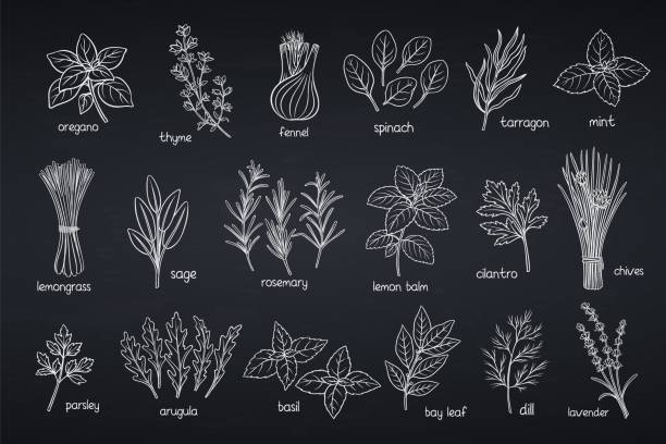 popular culinary herbs - лекарственная трава stock illustrations