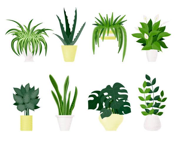 popular indoor plants on white background - aloe vera stock illustrations