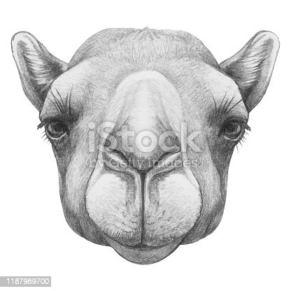 istock Portrait of Camel. Hand-drawn illustration. Vector isolated elements. 1187989700