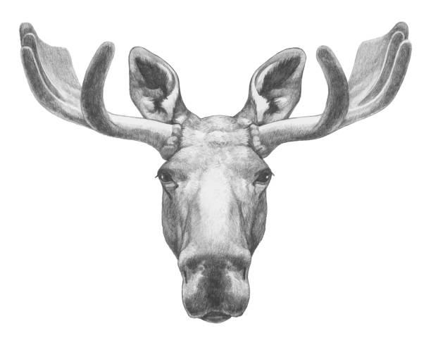 Portrait of Moose. Hand-drawn illustration. Vector isolated elements. Vector isolated elements. moose stock illustrations