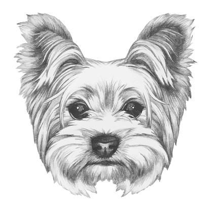 Portrait of Yorkshire Terrier Dog. Hand-drawn illustration.