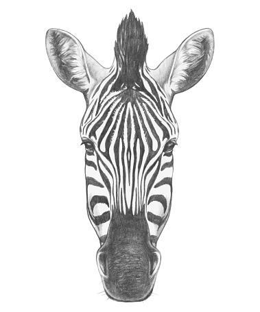 Portrait of Zebra. Hand drawn illustration. Vector isolated elements.