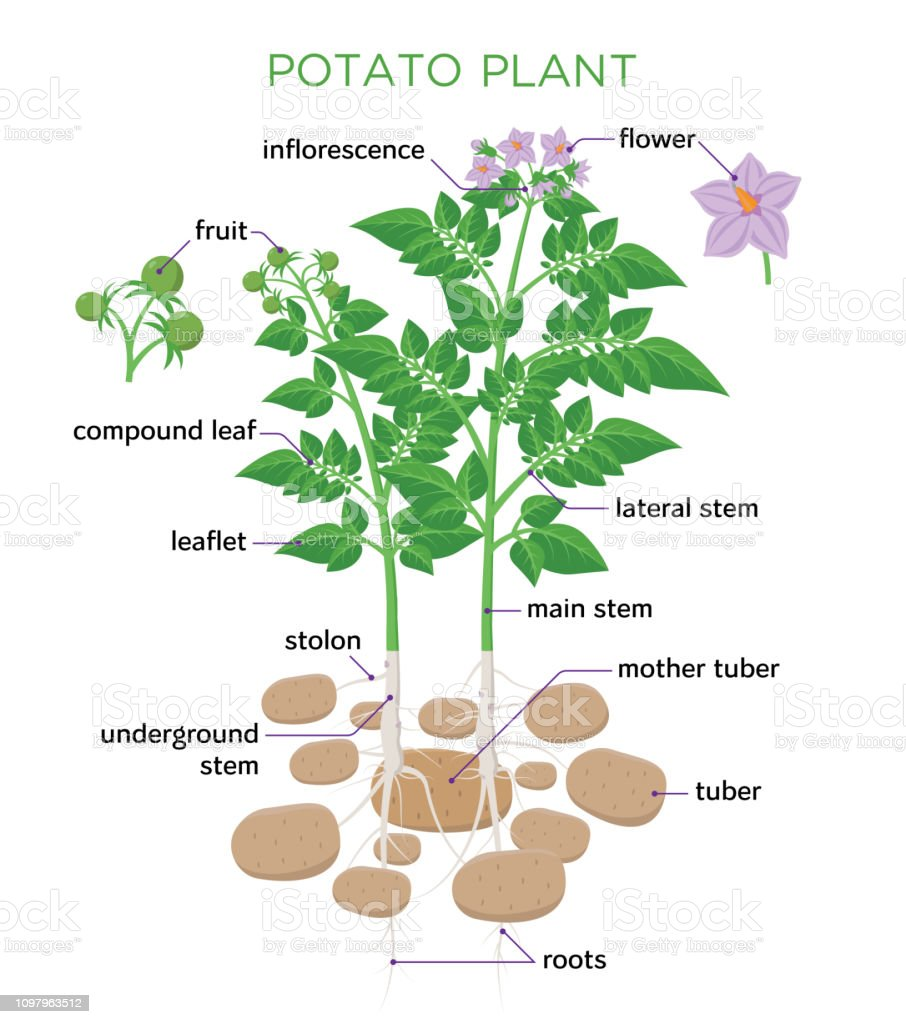 Potato Plant Vector Illustration In Flat Design Potato
