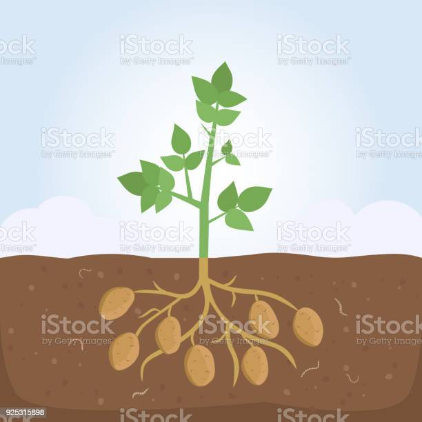 Potato plant with leaves and roots vector id925315898?b=1&k=6&m=925315898&s=612x612&h=yx rjm5hsdytcf x9bvqezv6n57wdngplv9ybmig2 e=