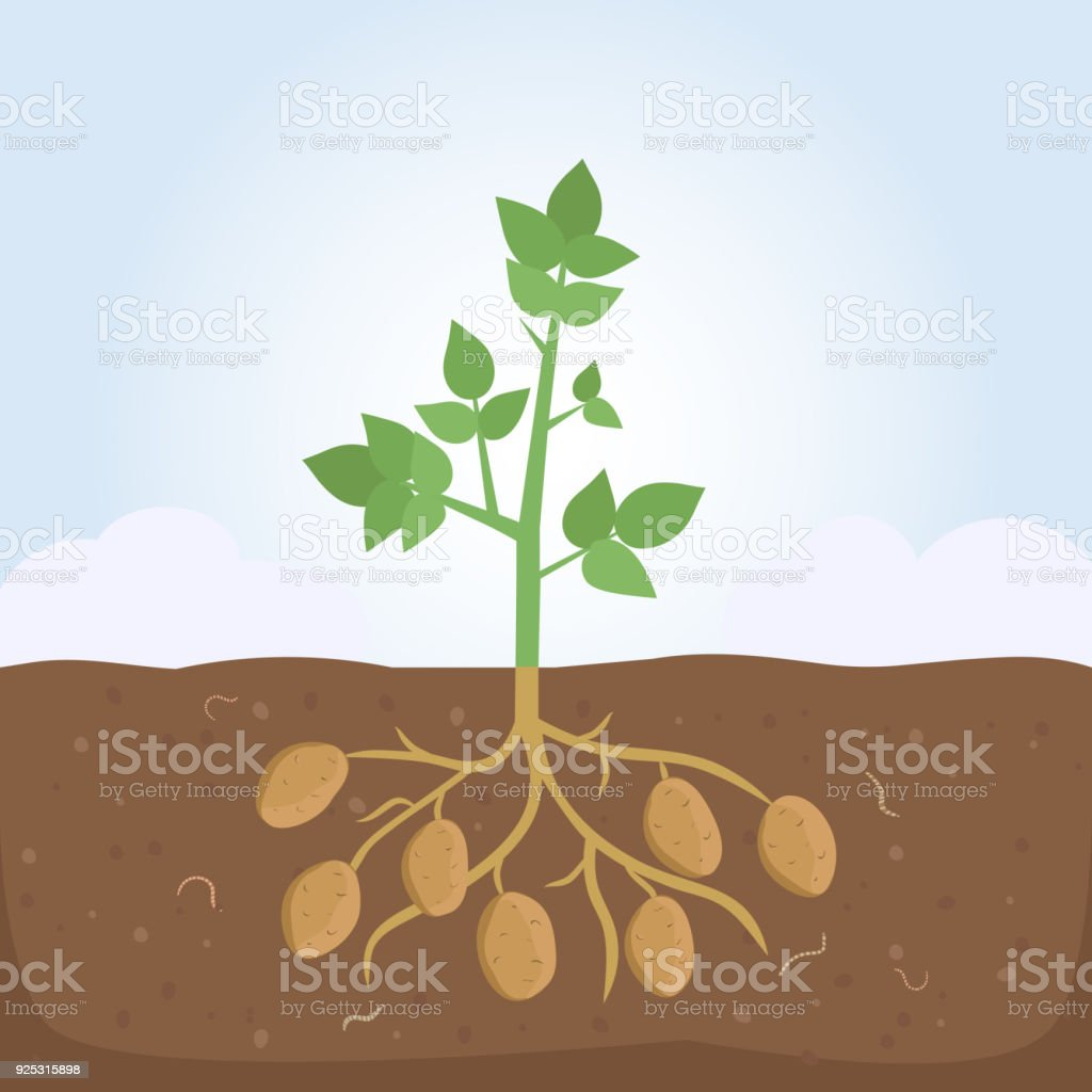 Potato Plant with Leaves and Roots vector art illustration