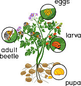 Potato plant with root system and different stages of development of Colorado potato beetle or Leptinotarsa decemlineata