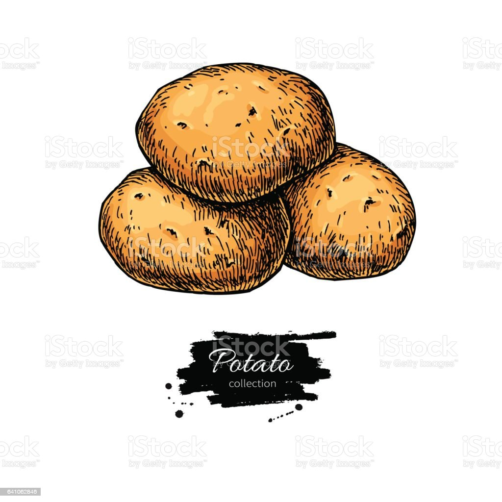 Potato vector drawing. Isolated hand drawn potatoes heap. vector art illustration