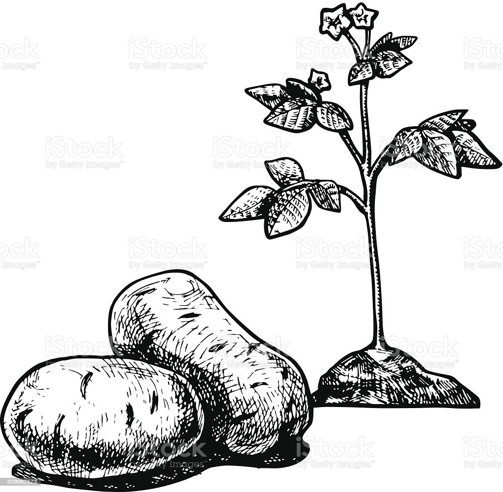 potato vector art illustration