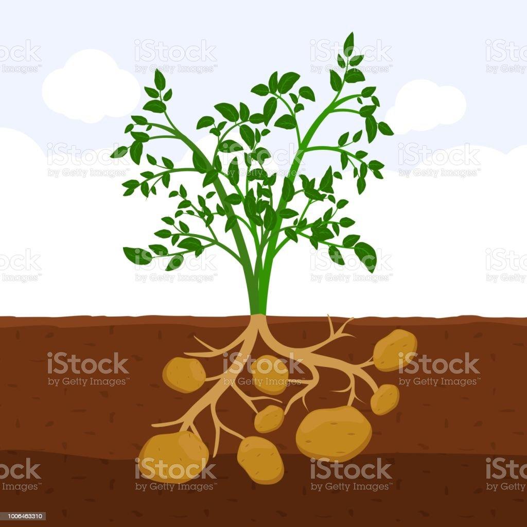 kartoffel mit bl ttern und wurzeln im boden frische bio gem se garten pflanze w chst. Black Bedroom Furniture Sets. Home Design Ideas
