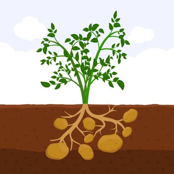 kartoffel mit blättern und wurzeln im boden, frische bio gemüse garten pflanze wächst unterirdisch, cartoon flache vektor - kartoffeln stock-grafiken, -clipart, -cartoons und -symbole