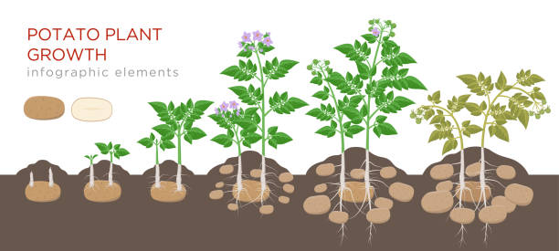 potatoes plant growing process from seed to ripe vegetables on plants isolated on white background. potato growth stages, planting process, plant life cycle infographic elements in flat design. - raw potato stock illustrations