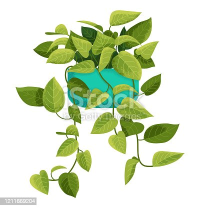 An illustration of a Pothos plant, with vintage-style texture.