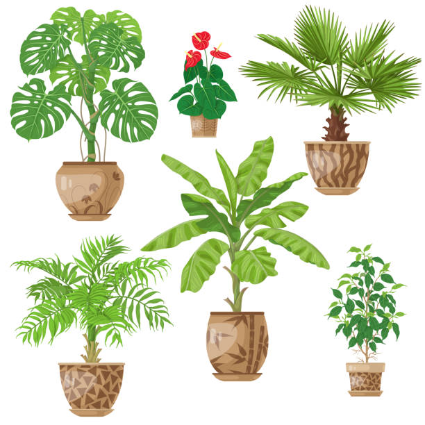 Potted Plants Set Potted tropical Plants Set.  Palm trees, banana plant, Anthurium, ficus, washingtonia, monstera in flowerpots isolated on white. Vector flat illustration. potted plant stock illustrations