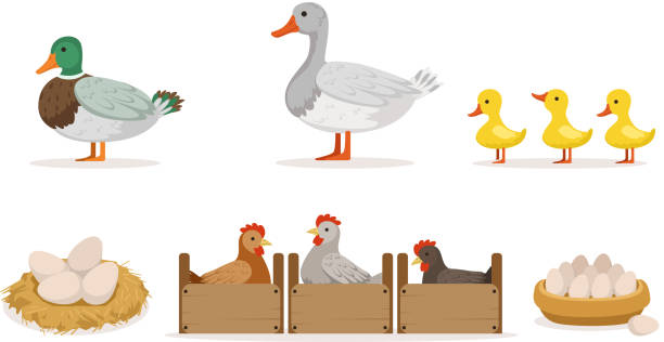 Poultry Farm With Hens, Ducks And Gooses. Eggs And Ducklings Vector Illustration Set Isolated On White Background Poultry farm in agricultural concept. Duck, goose, three little cute ducklings, chickens in crates, eggs in a nest or in a bowl female animal stock illustrations