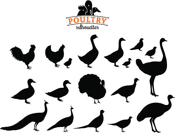 Poultry Silhouettes Isolated on White Poultry collection. Lots of poultry isolated on white for your work. poultry stock illustrations
