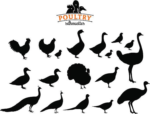 bildbanksillustrationer, clip art samt tecknat material och ikoner med poultry silhouettes isolated on white - fjäderfä