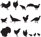 Poultry (roosters, turkeys, pheasants, peacocks, chickens)