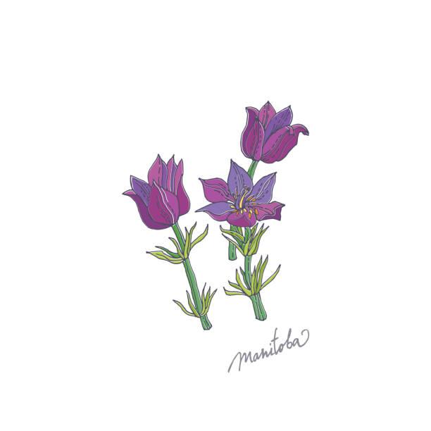 Prairie Crocus. Manitoba vector art illustration