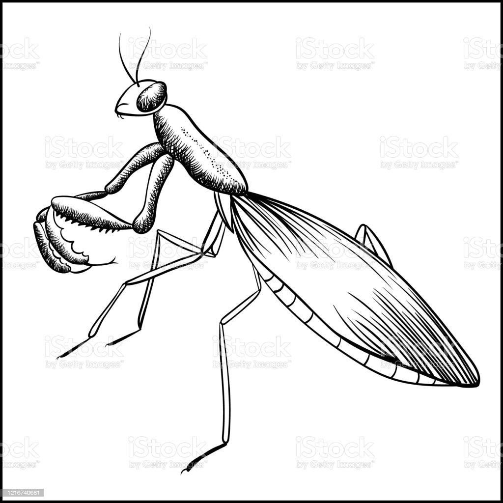 Praying Mantis Sketch Iisolated On White Background Stock