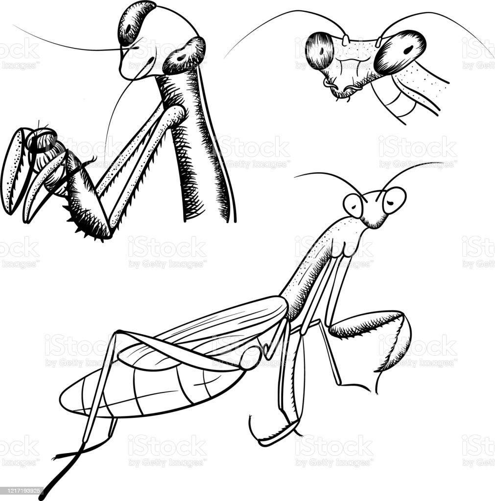 Praying Mantis Sketch Monochrome Illustration Set Stock