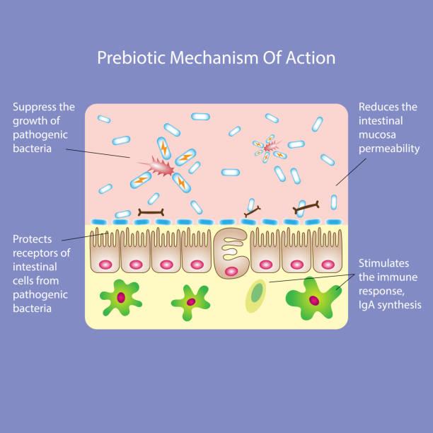 prebiotische wirkmechanismus - enzyme stoffwechsel stock-grafiken, -clipart, -cartoons und -symbole