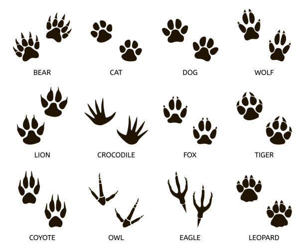 stockillustraties, clipart, cartoons en iconen met predator voetafdruk. de vrije kleuren van de dierenpoot, kat, beer, tijger, vos en wolfvoetafdrukken, roofdieren voettekens silhouetvectorillustratie reeks - spoorelement