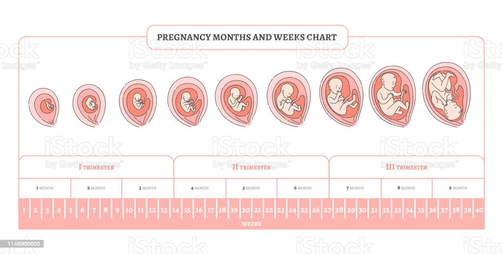 Pregnancy Month Weeks And Trimesters Chart With Stages Of