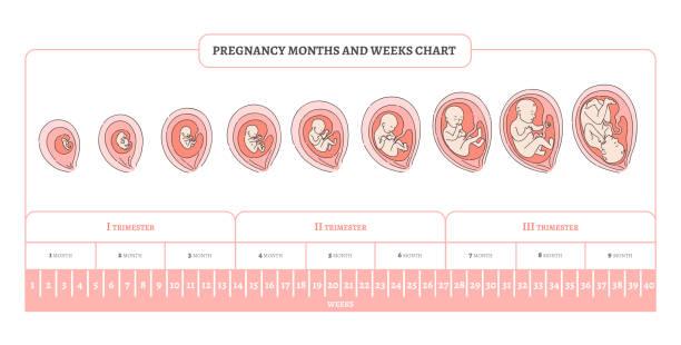 illustrazioni stock, clip art, cartoni animati e icone di tendenza di pregnancy month, weeks and trimesters chart with stages of embryo development. - scheda clinica