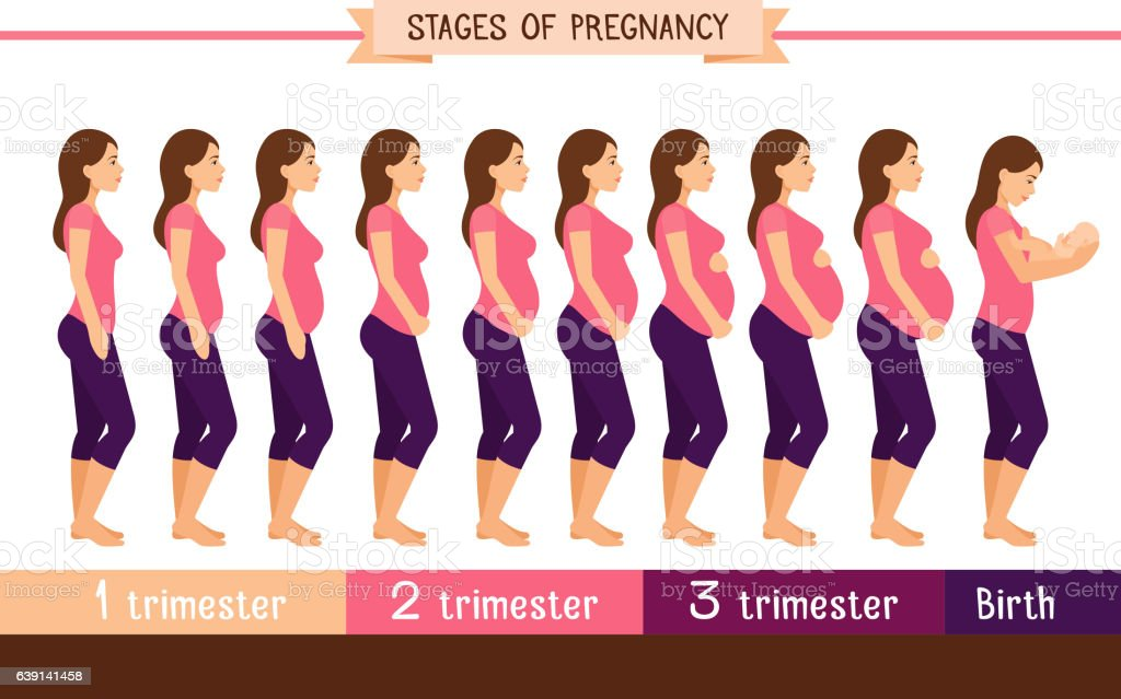 Pregnancy stages flat vector illustration vector art illustration