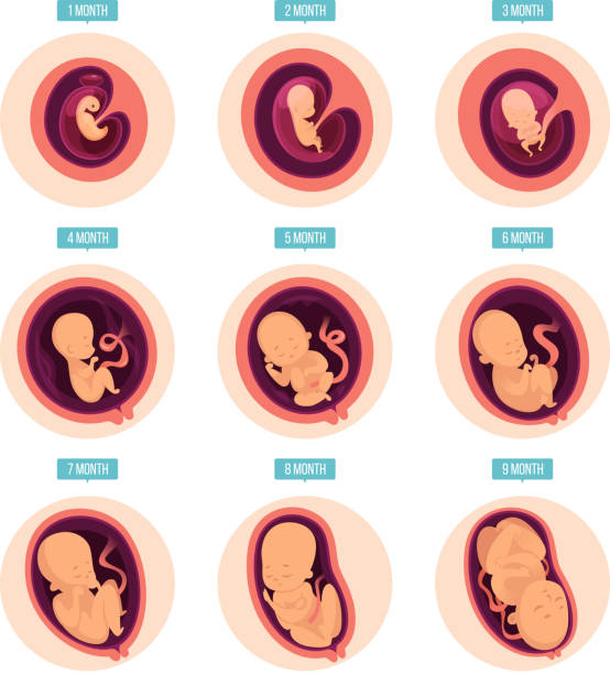 Pregnancy stages. Human growth stages embryo development egg fertility pregnancy stages vector infographic pictures Pregnancy stages. Human growth stages embryo development egg fertility pregnancy stages vector infographic pictures. Illustration of embryo pregnancy, medicine growth stage uterus stock illustrations