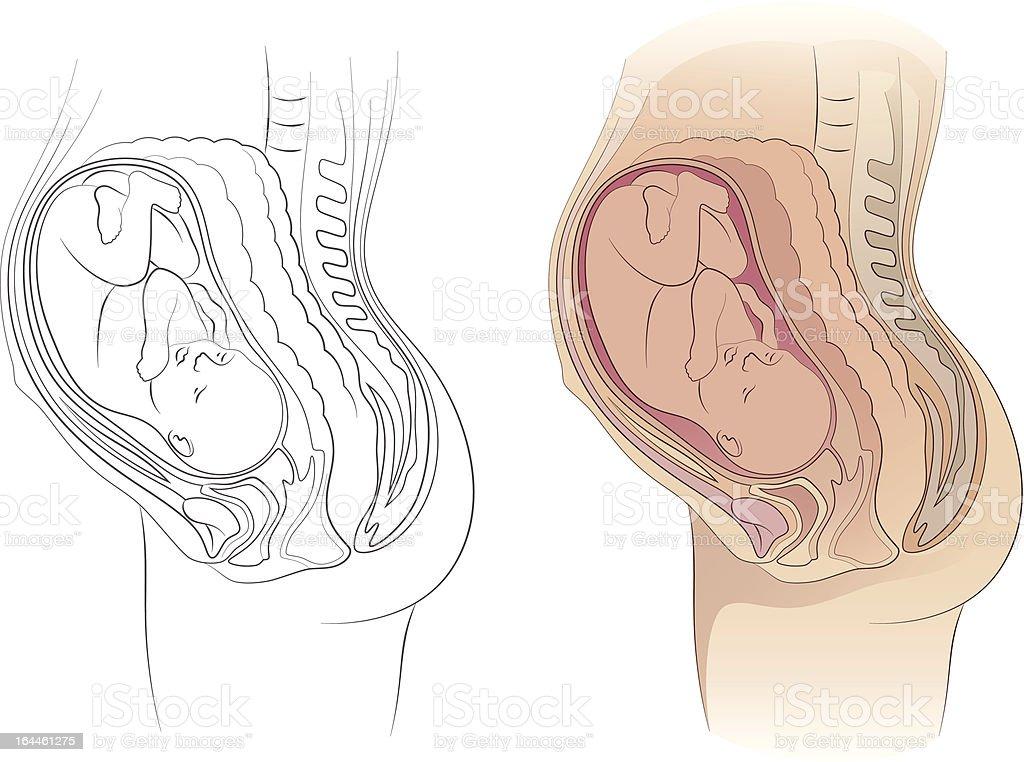 Die Schwangerschaft Stock Vektor Art und mehr Bilder von Anatomie ...