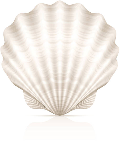 a pretty white seashell on a white background - seashell stock illustrations, clip art, cartoons, & icons