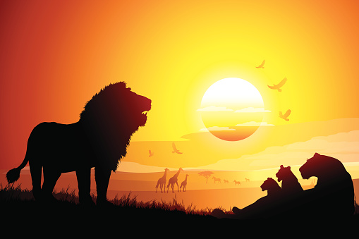 Pride of African Lions in savanna silhouettes at the sunset
