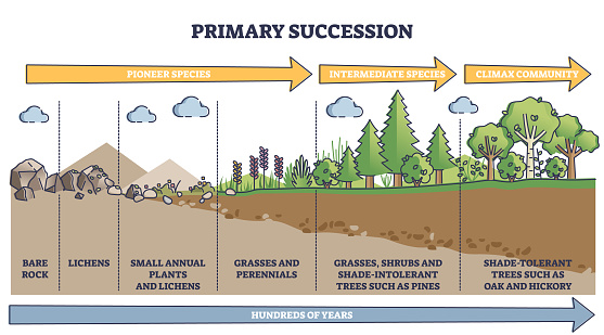 Primary succession and ecological growth process stages outline diagram