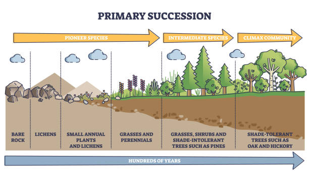 Primary succession and ecological growth process stages outline diagram vector art illustration
