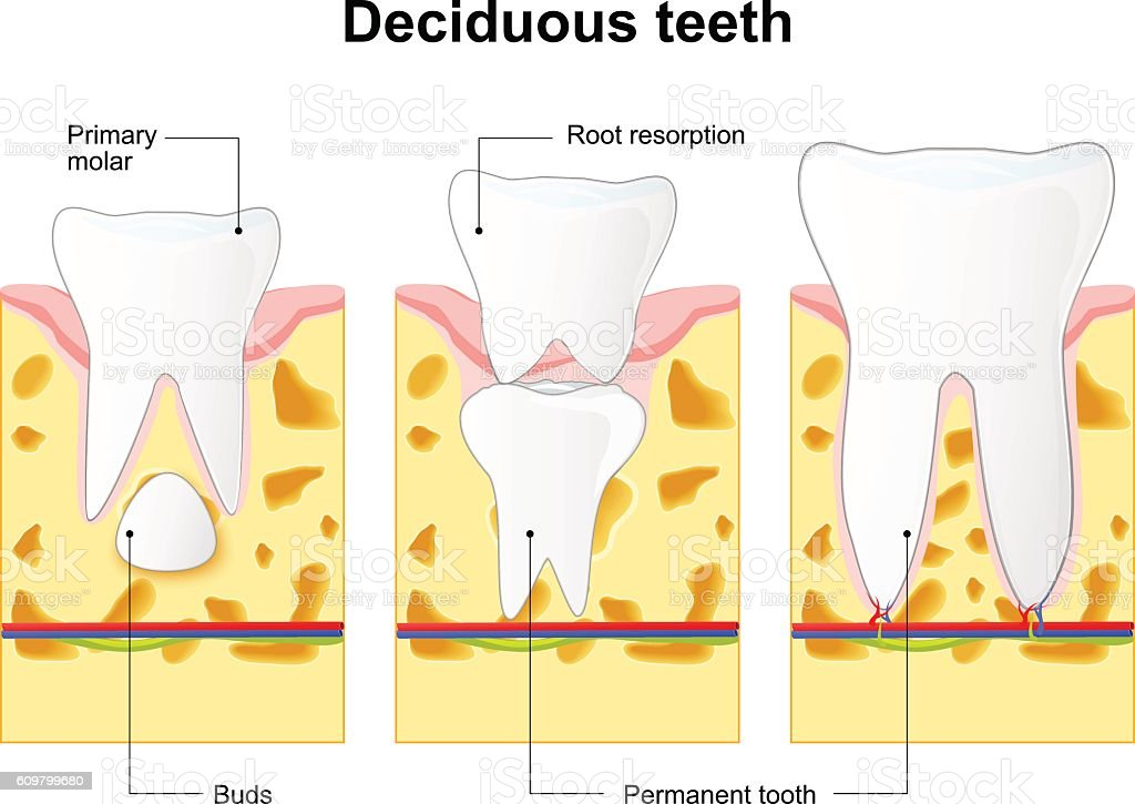 Primary Tooth And Permanent Tooth Process Is Root Resorption Stock
