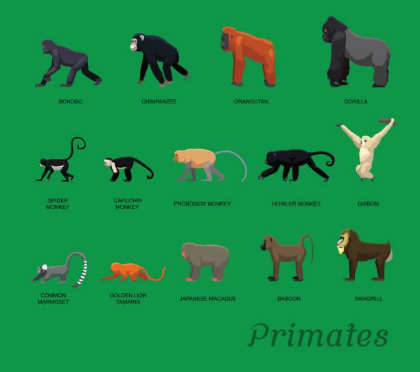 Primate Species Set Cartoon Vector Illustration Animal Characters EPS10 File Format common marmoset stock illustrations