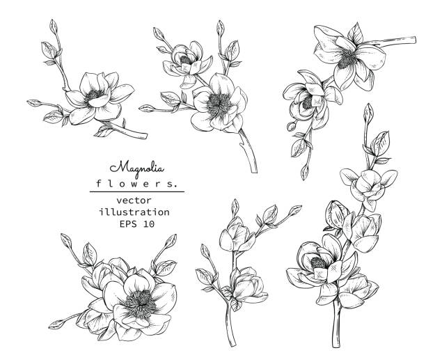 Print Sketch Floral Botany Collection. Magnolia flower drawings. Black and white with line art on white backgrounds. Hand Drawn Botanical Illustrations.Vector. flowers stock illustrations