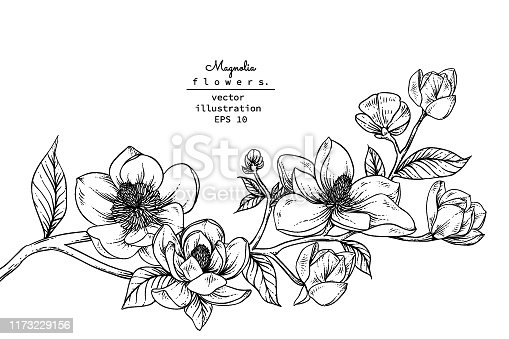 Sketch Floral Botany Collection. Magnolia flower drawings. Black and white with line art on white backgrounds. Hand Drawn Botanical Illustrations.Vector.
