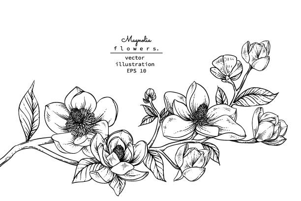 Print Sketch Floral Botany Collection. Magnolia flower drawings. Black and white with line art on white backgrounds. Hand Drawn Botanical Illustrations.Vector. temperate flower stock illustrations