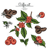 Sketch Floral Botany Collection. Coffee bean, leaf berries and flower drawings. line art on white backgrounds. Hand Drawn Botanical Illustrations.Vector.